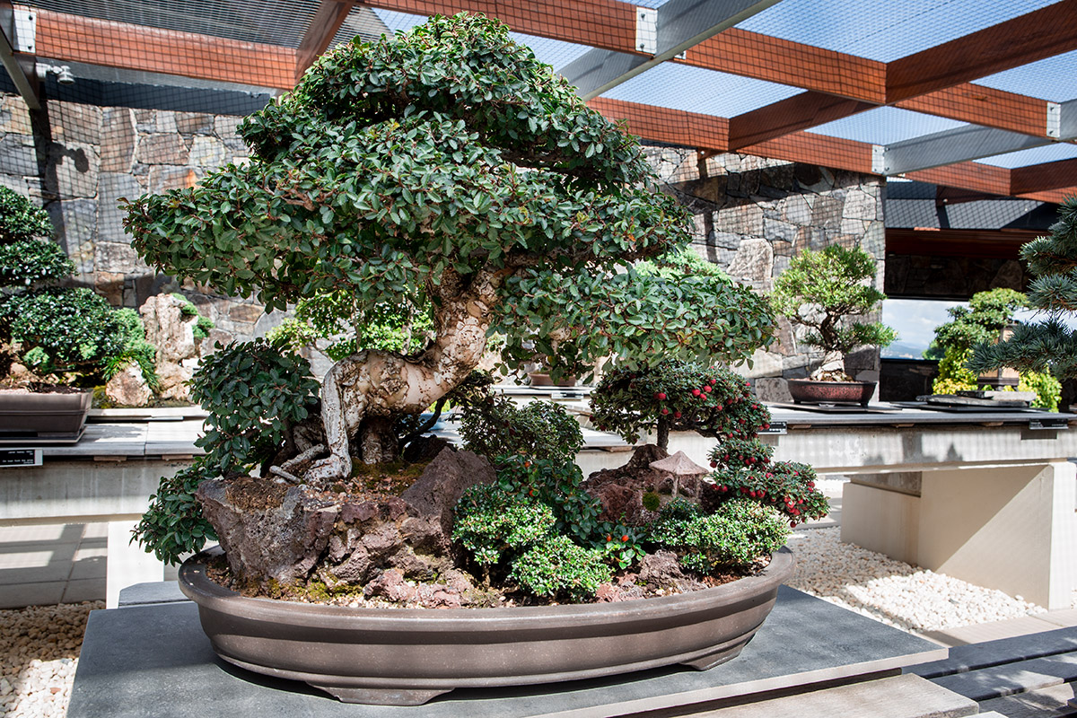 A living sculpture from the National Bonsai and Penjing Collection. The trees are designed to reflect trees or landscapes in nature; to create a sense of calm and peacefulness and broaden the viewers' cultural understanding.