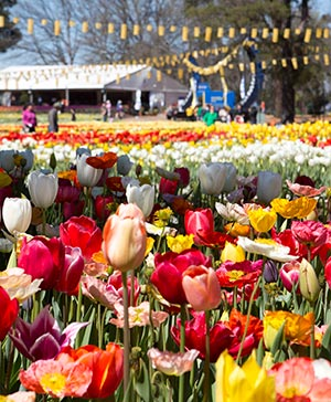 People wander amongst yellow, white, red, purple pink and mixed coloured tulips.