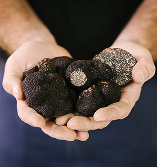 two cupped hands full of freshly harvested Black French Truffles
