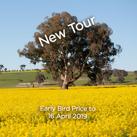 Large eucalypt tree in middle of field of yellow flowering canola. Blue cloudless sky.