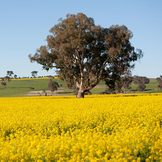 Large eucalypt tree in middle of field of yellow flowering canola. The flowering canola is one of the key attractions on this bike tour. Blue cloudless sky.