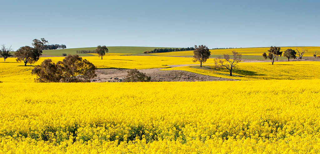 Eucalypt trees amongst fields of yellow flowering canola. Blue cloudless sky.