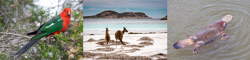 A triptych of 3 photos showing some of the unique wildlife to be seen in Australia. Male King Parrot, Bright, Victoria. Two Western Grey Kangaroo on a beach, Cape Le Grand National Park, Western Australia. Platypus, Tidbinbilla Nature Reserve, ACT.