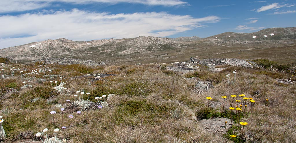 A treeless rocky landscape with alpine flowers growing amongst the grass and heath. Small patches of snow remain on the higher peaks. Mt Kosciuszko is at the centre of skyline.