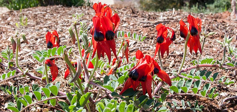 Close up of flower bunches of Sturt's Desert Pea growing on spreading ground-hugging vine. Each flower is a vibrant red with a black centre, known as the 'boss'.
